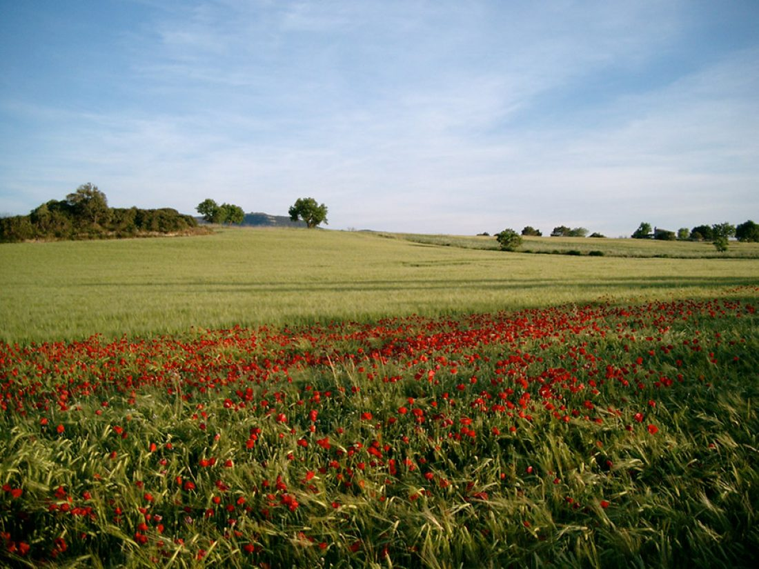 Corn field with poppies
