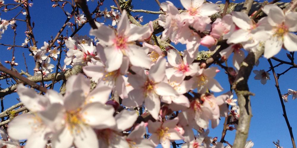 Sonderpreise zur Mandelblüte auf Mallorca im Februar