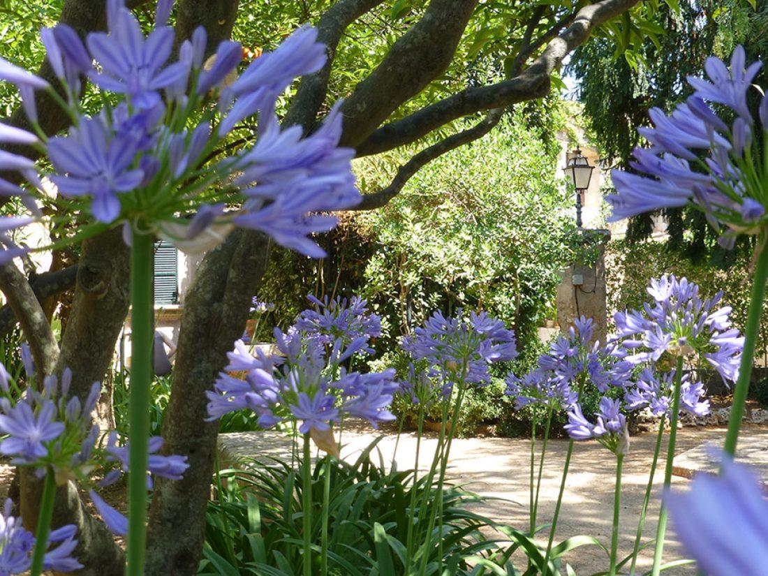 Blühender Agapantus unter den Mandarinenbäumen